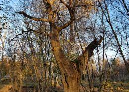 Äldre lövträd